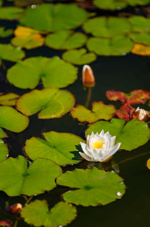 White water lily flower among green leaves.
