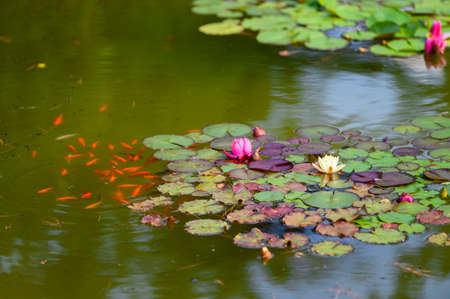 White flower and pink water lily among green leaves with orange fish.