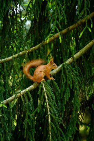 Rusty squirrel on a fir branch.
