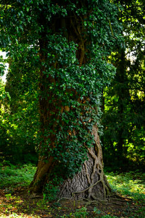Ivy growing on a tree trunk.