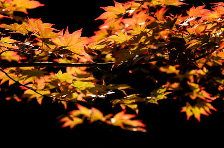 Red-orange leaves of an ornamental maple on a twig. Banco de Imagens