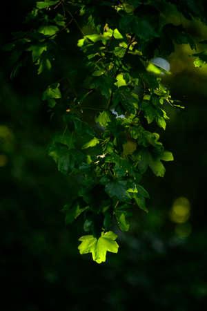 Maple leaf illuminated by sunlight.