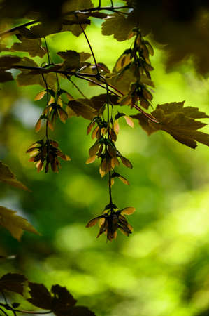 Maple bunches in detail on a tree with leaves. Banco de Imagens