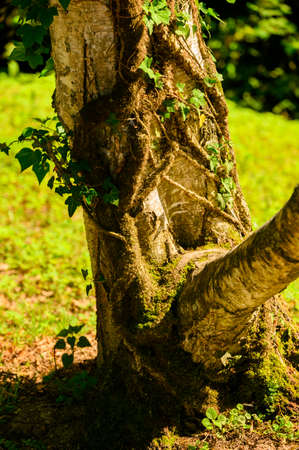 Ivy growing on a birch trunk in detail. Banco de Imagens