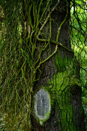 Stems of dead ivy on a tree trunk. Banco de Imagens