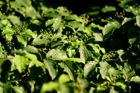 Cornus sanguinea - green berries among the leaves.