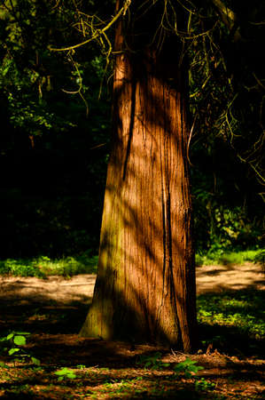 A stout yew trunk illuminated by morning light.