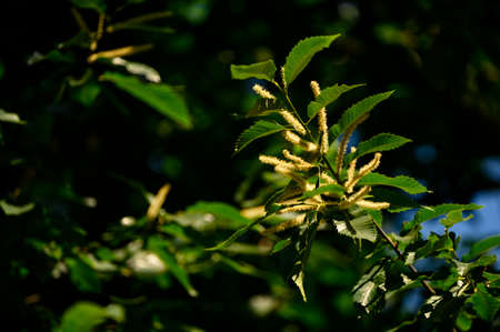 Edible chestnut flowers on the branches.