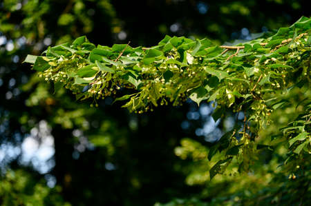 Green linden fruit among the leaves. Banco de Imagens