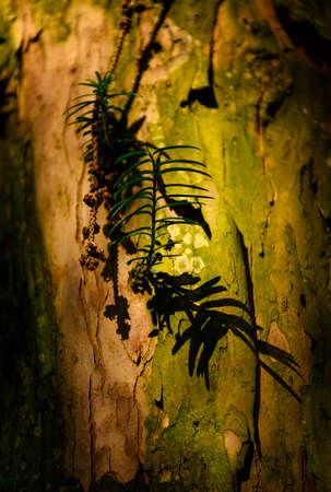 Young shoot on a yew trunk. Banco de Imagens