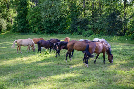 A herd of horses on a pasture near the forest.
