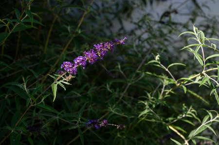 Buddleia - purple flowers with green leaves.