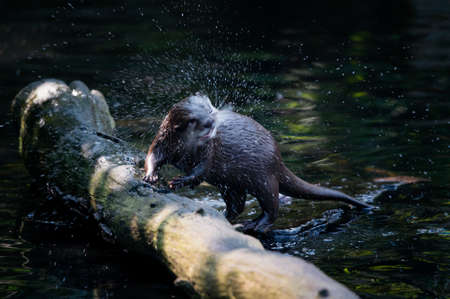 Aonyx cinerea - A knocking otter and splashing water.