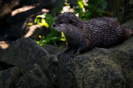 Aonyx cinerea - Wet otter outdoors in nature. 写真素材