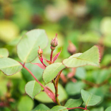 Rose flower bud with green leaves. Standard-Bild