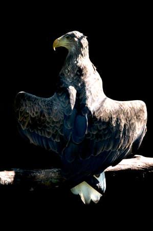 Aquila heliaca - golden eagle on a branch.