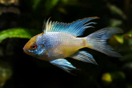 Cichlid fish with a blue shiny color.