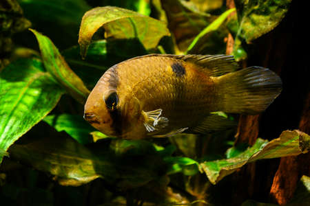 Cleithracara maronii - Akara brown in detail.