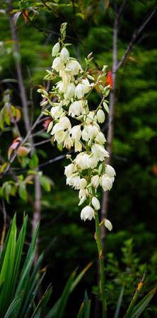 White flowers on the stem of a desert plant in the garden.