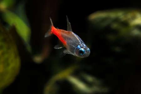 Paracheirodon - Glowing diamond neon in an aquarium. Standard-Bild