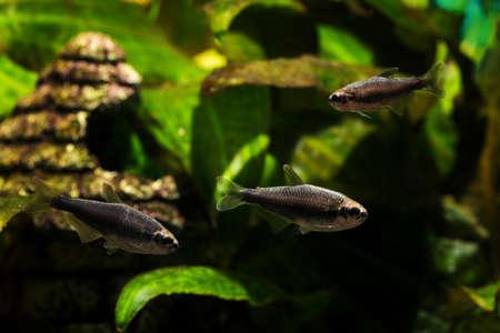 Suede gray neon tetra in the aquarium.