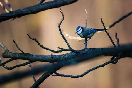 Blue Tit sitting on a branch.