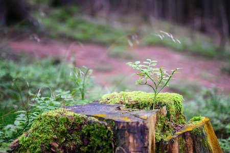 Young green leaves of blueberry growing on a tree stump in the forest.