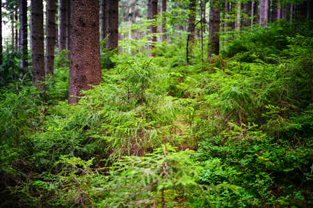 Lush green needles on spruce trees in the forest.