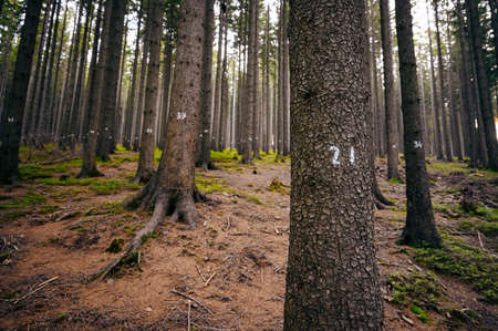Numbered trunks of spruce trees in the forest. Imagens