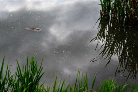 Dead fish on the surface of the lake.