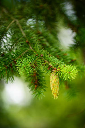 Young green pine cone on a conifer. Imagens