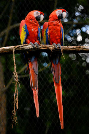 Two large red parrots on a branch next to each other in an aviary. Imagens