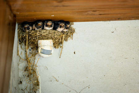 A nest of swallows with chicks above the motion sensor.