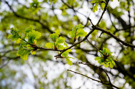 Young lush leaves on an oak twig. Imagens