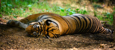 Tiger lying on the ground. Imagens
