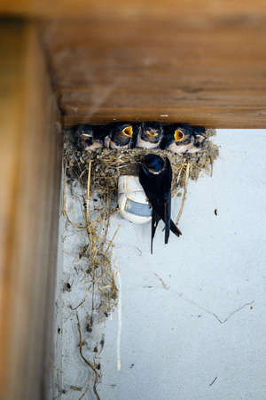 A nest of swallows with chicks above the motion sensor with an adult swallow.