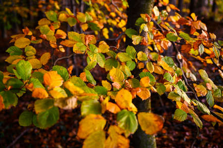 Colorful beech leaves in autumn time.