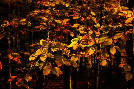 Morning sunlit beech leaves in autumn time. Imagens