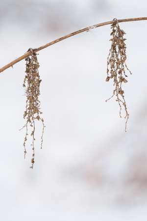 Dry nettle seeds on a stalk.