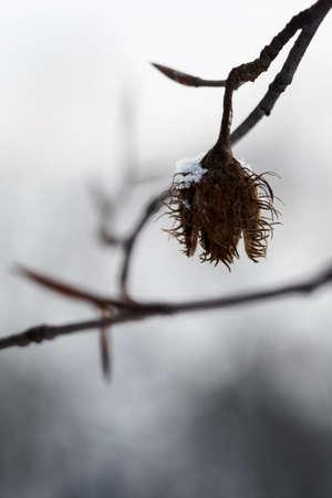 Empty beech on a tree twig.