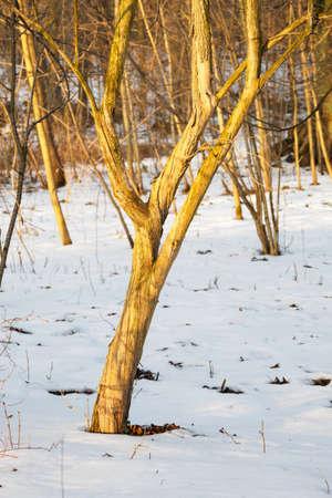 Elderberry trunk in the forest with snow in the setting sun. Archivio Fotografico
