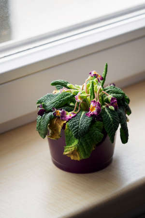 Dying primrose in a pot by the window.