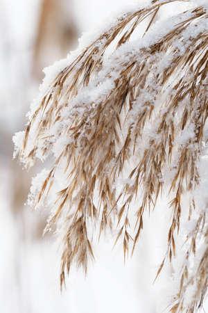 White snow on reed seeds. Archivio Fotografico
