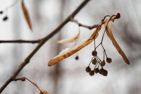 Linden balls on a tree.