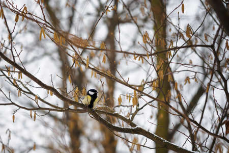 Great tit on a twig of hazelnuts without leaves in winter.