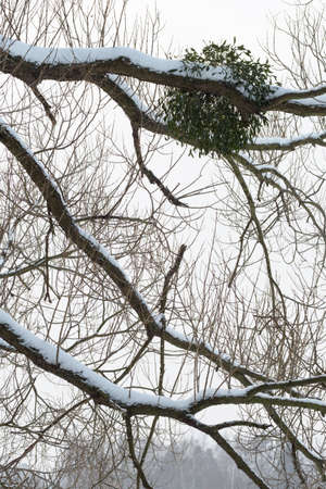 Mistletoe growing on a willow tree in winter.