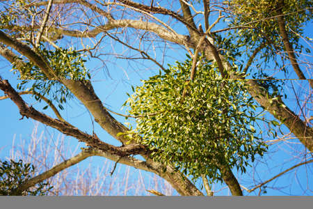 Mistletoe with balls on a tree in nature.