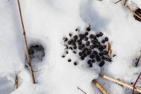 Venison feces in the snow. Banco de Imagens