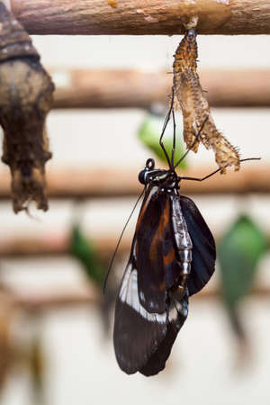 The exotic butterfly crawled out of its cocoon.
