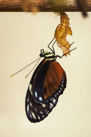 The exotic butterfly crawled out of its cocoon. Foto de archivo